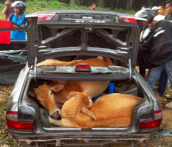 cows in sedan car